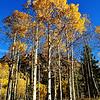 Aspen Trees at Maroon Bells in Colorado