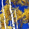 Tall Aspen in Colorado 2