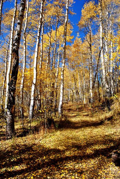 Aspen Trees on Coffee Pot Road near Glenwood Springs Colorado