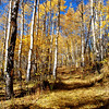 Aspen Trees on Coffee Pot Road near Glenwood Springs Colorado