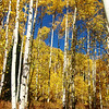 Tall Aspen in Colorado