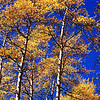 Tall Aspen Trees in Colorado