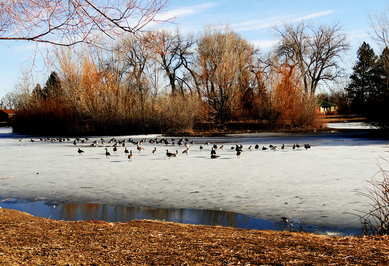 Park in Denver Colorado with Canadian Geese