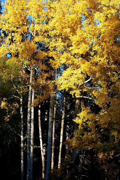 More Aspen Trees in Colorado