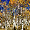 Aspen Trees in Colorado 2