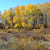 Aspen Grove in Colorado 2