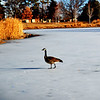 Lone Canadian Goose walking across the Lake at a Park in Denver Colorado