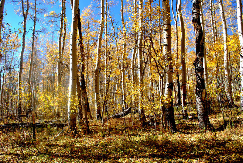 Aspen Grove in Colorado 4