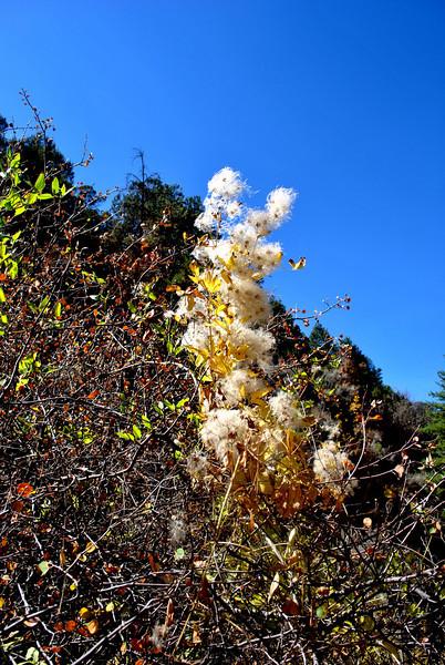 Cotton Wood tree in Colorado