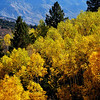 Aspen Trees in Colorado 3