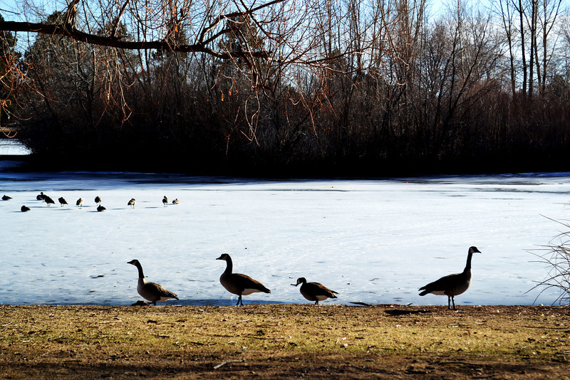 Canadian Geese in a Park in Denver Colorado 2