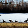 Canadian Geese in a Park in Denver Colorado 2