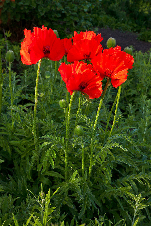 Red Poppies 3