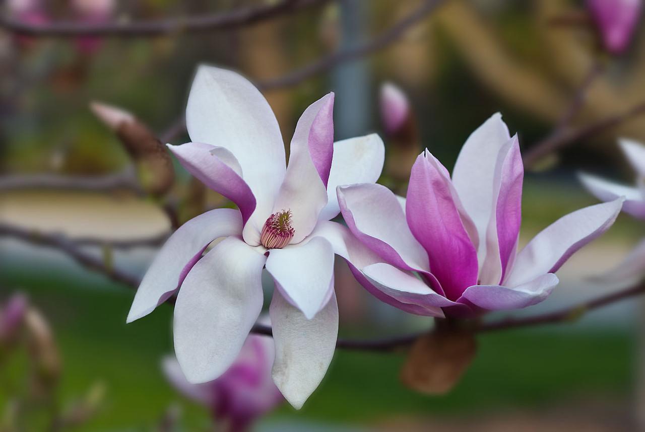 Magnolias 13 9215