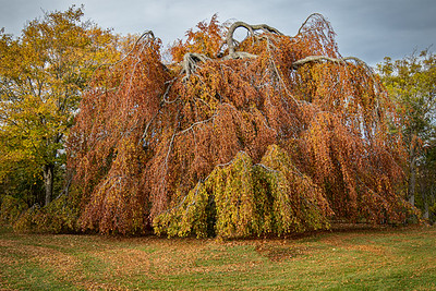 The Weeping Beech tree at Bowring Park