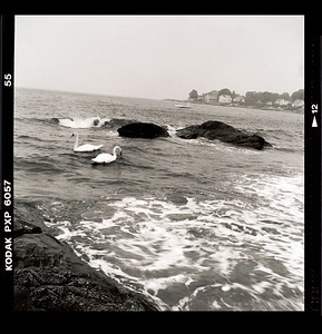 Swans by Rocks at Guthrie and Pequot Beaches New London CT