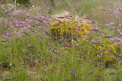 Tall grass gone to seed among blooming flowers.