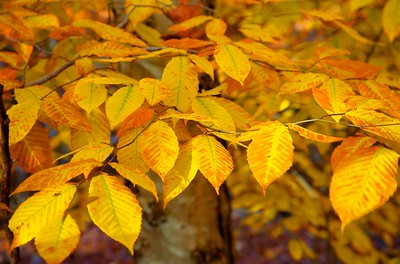 Fall Foliage HDR1