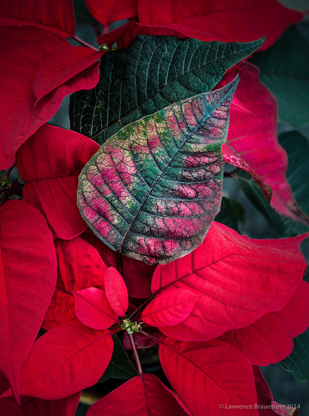 Poinsettia_HF-(B, 3, 5)-Edit