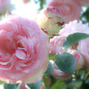 Eden (climber) CABBAGE ROSES-RESTYLE
