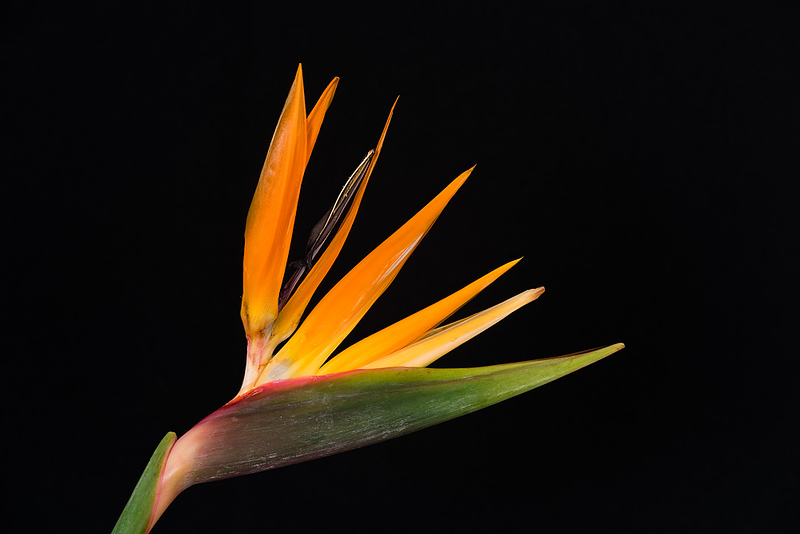 FSF 010 Bird of Paradise
