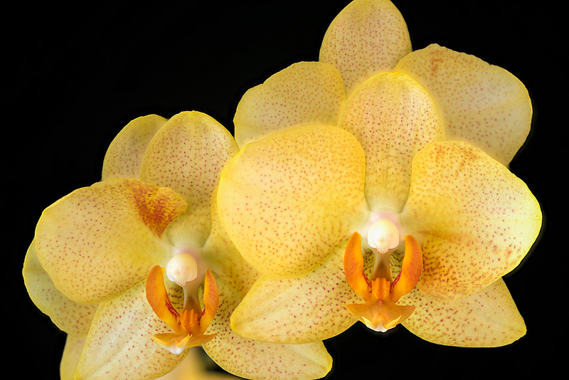 FSF 023 Orchid