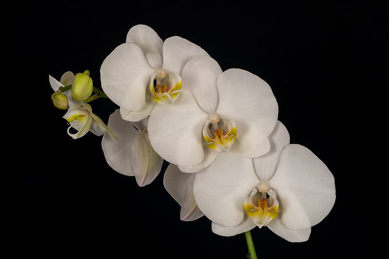 FSF 002 Orchid