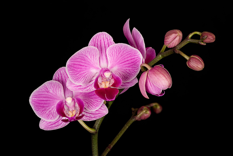 FSF 008 Orchid