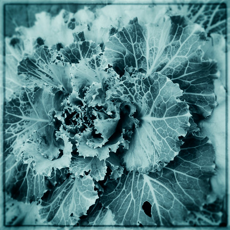 Plant Studies11172012_060 cyanotype
