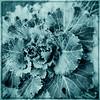 Plant Studies11172012_060 cyanotype