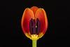 FSF 007 Inside a Tulip