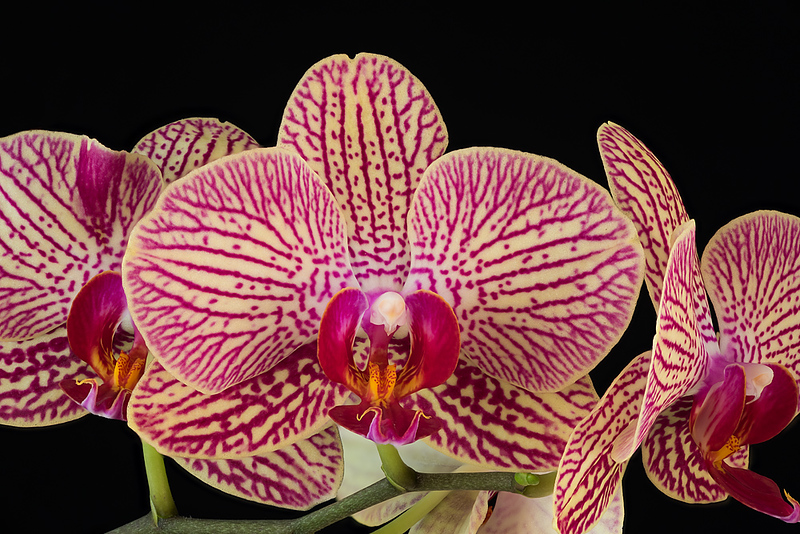 FSF 024 Orchid
