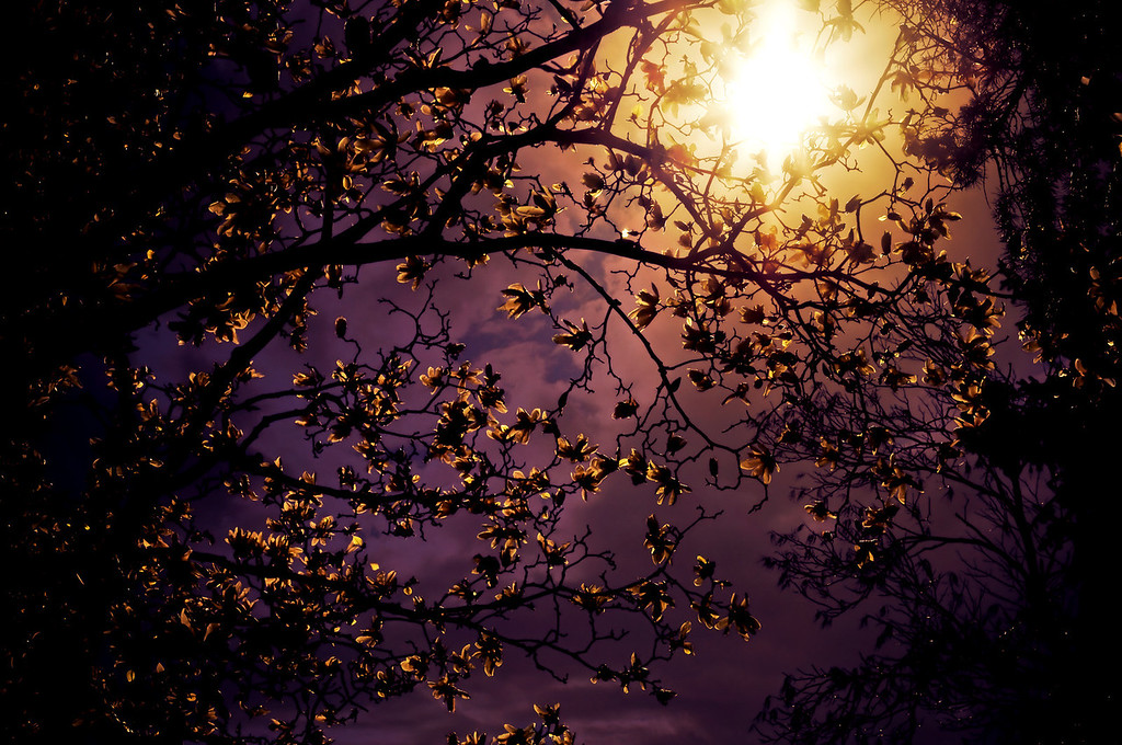 <h2>Stars in an Earthly Sky - Cherry Blossoms in the Sun</h2> - By Vivienne Gucwa   The sun burned bright like a fiery orb as the churning storm clouds in the sky sought to extinguish it: their tufts of purple and grey gathering round in consensus before a final engulfing embrace.  As the sky determined its own fate, the sun's fire burned a fiery trail through spring blossoms and leaves.  And in the sun's wake, each blossom twinkled: luminescent stars in an earthly sky.   ---