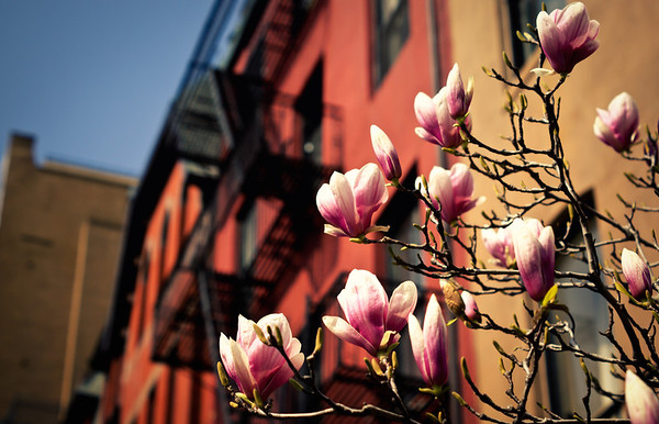 <h2>Blush Response - Japanese Magnolia Blossoms - Spring - New York City</h2> - By Vivienne Gucwa  As the steel exoskeletons that wind along city buildings bask in the glow of springtime, fresh-faced blossoms blush in the warmth of the sun tilting their heads skyward hoping for a kiss.  And the earth swoons.  ---