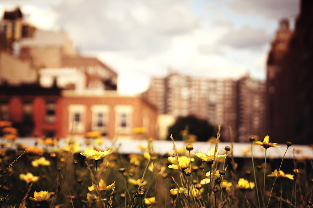 <h2>Wildflowers Along the  High Line - New York City</h2> - By Vivienne Gucwa  The wildflowers that grow along the High Line Park are some of my favorite flowers in New York City. Greenery has a way of thriving in this elevated park due to the nature of the buildings that line the old railroad tracks which cast shade on certain sections while other sections bask in direct sunlight daily.  In the 1930s, freight trains ran along these re-purposed tracks delivering supplies and service to the buildings lining the High Line. In some of the newer sections of the High Line, the closeness to the buildings that line the tracks is made all the more extreme by the wildflowers that have sprouted up along what remains of the train tracks. The shaded areas are brimming with colorful flowers and plant life that has claimed its home here breathing life into this space that was once dominated by industry.  ---