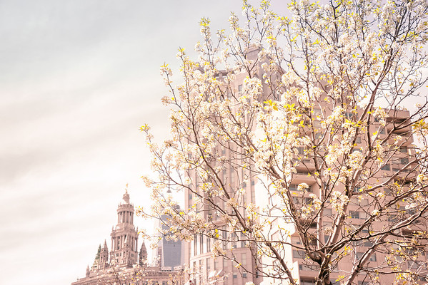 New York City - Spring - Blossoms and the Municipal Building