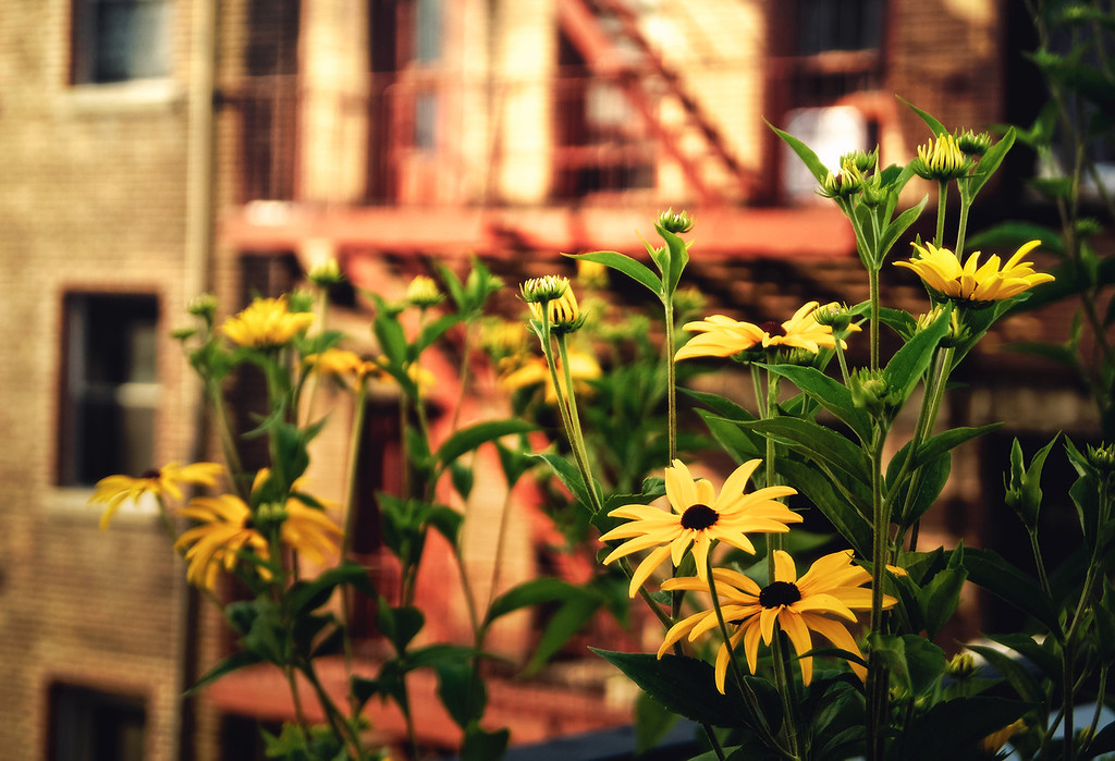 <h2>Flowers and the City - High Line - Chelsea - New York City</h2> - By Vivienne Gucwa  There is a beautiful tension in the juxtaposition between the flowers that grow along the High Line and the distinctly urban views that exist beyond the High Line. The High Line is an elevated park that runs along 10th Avenue all the way from midtown down to the heart of the meatpacking district. In the 1930s, freight trains ran along these re-purposed tracks delivering supplies and service to the buildings lining the High Line. In some of the newer sections of the High Line, the closeness to the buildings that line the tracks is made all the more extreme by the wildflowers that have sprouted up along what remains of the train tracks. Flowers and plant life now breathe life into this space that was once dominated by industry.  Perhaps that is why it sometimes has a vaguely post-apocalyptic feel. The scenery calls to mind I am Legend's fictional world where urban settings which were once thriving hubs of industry are now dominated by the plant life that had been suppressed for years under the weight of urban life.  ---