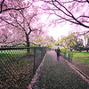 New York City Cherry Blossoms