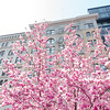 New York City Spring Cherry Blossoms