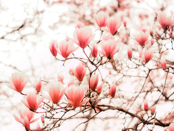 <h2>Blush Pink - Springtime Cherry Blossoms - Central Park</h2> - By Vivienne Gucwa  Spring blushes bright pink against the pale white petals of trees that reach up towards the sky.   And the sun showers each upturned petal with warm kisses.  ---