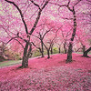Spring Cherry Blossoms Central Park