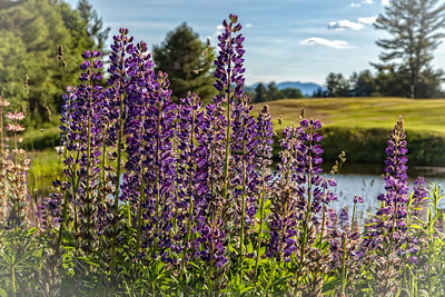 Adirondack Lupines and High Peaks