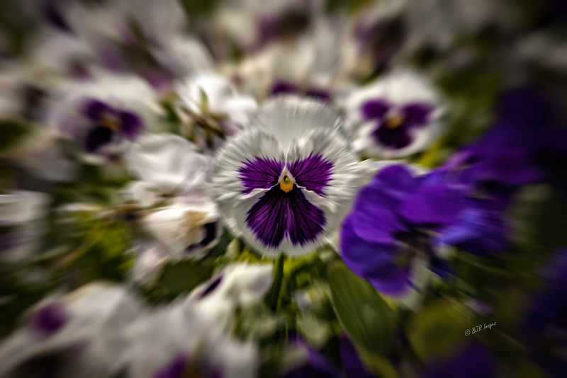 IMG_4562 Pansy Bed Blur