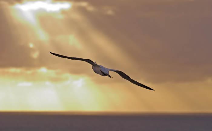 Gannet in flight, Muriwai, New Zealand  ©Tomas del Amo 2004