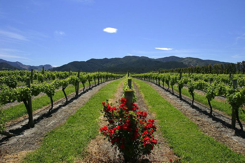 Marlborough Vineyard, South Island, New Zealand ©Tomas del Amo 2004