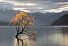Lost Tree - Wanaka, New Zealand