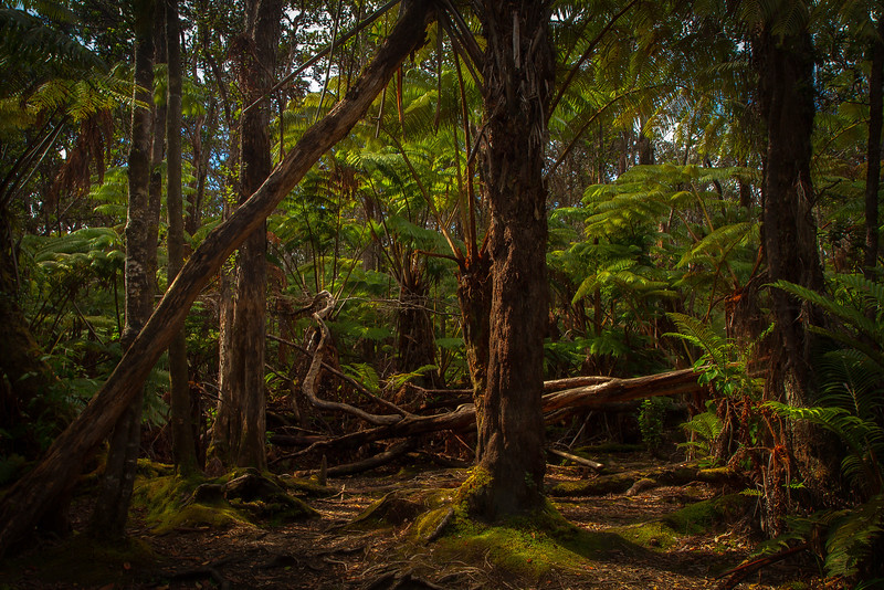Tree ferns and other plants show how plants diversified on Hawaii after recent lava flows. <br /> Photo © Cindy Clark
