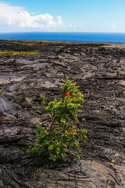 Plant life emerges amid 1970's lava flows on the Big Island.<br /> Photo © Carl Clark