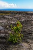 Plant life emerges amid 1970's lava flows on the Big Island.<br /> Photo © Carl Clark