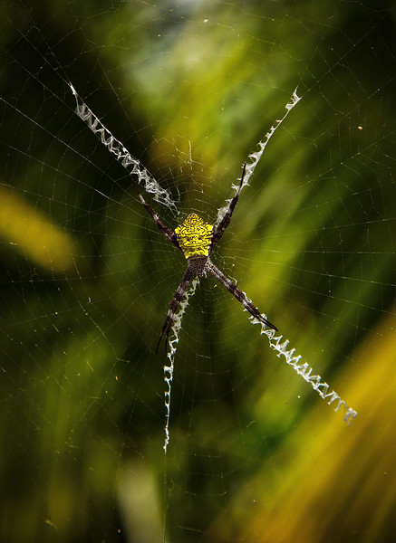 A Hawaiian version of garden spider, they weave the rickrack pattern to warn birds of their presence.<br /> Photo © Cindy Clark
